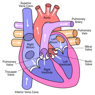 Diagram_of_the_human_heart_(cropped).svg